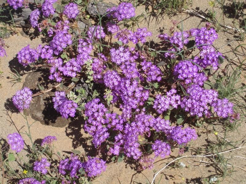 cvety pustyni