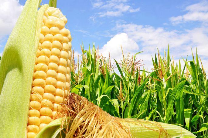 Притча про кукурузу, вкоторой кроется большой смысл...