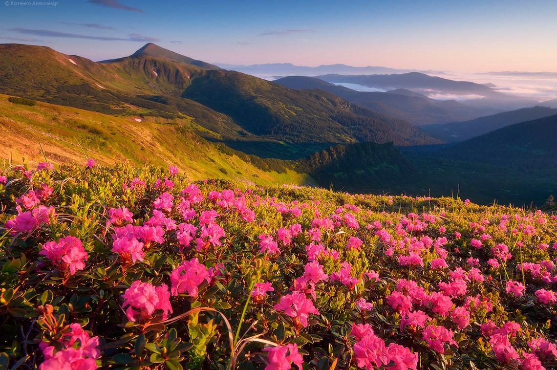 Дикие Карпаты: цветение рододендрона