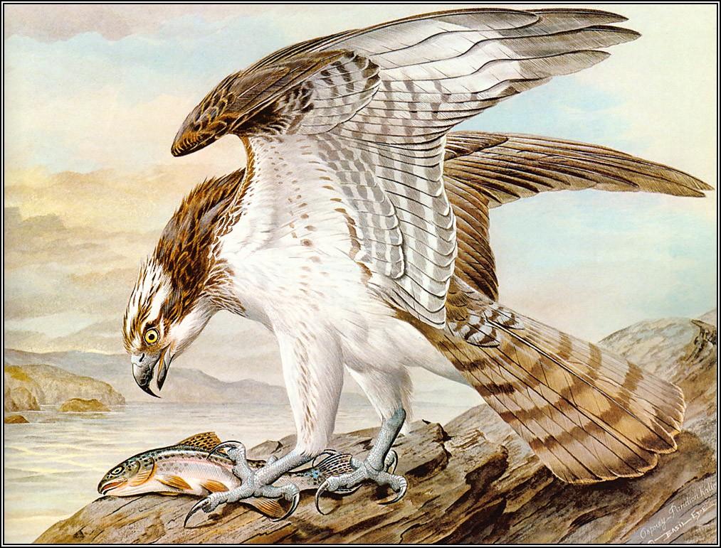 Английский художник Базиль Эде (Basil Ede) и его красивые птицы. 2ч