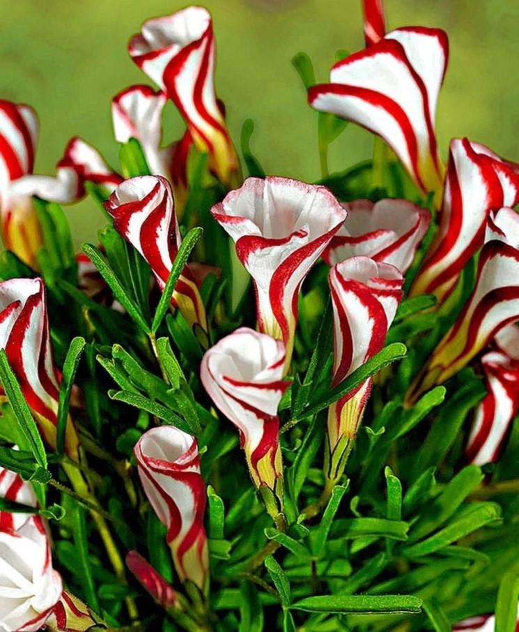 neobychnyye tsvety kislitsa